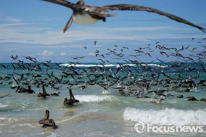 사다새로 불리는 대형조류 펠리컨은 갈라파고스에서 쉽게 만날 수 있는 새로 물고기를 주로 사냥한다. - <사진제공=전수경> 2016.03.15 포커스포토 photo@focus.kr 제공